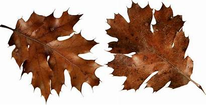 Leaves Autumn Brown Leaf Clipart Dry Transparent