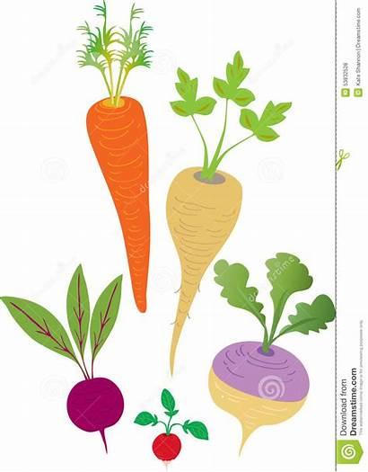 Root Vegetables Clipart Cartoon Vegetable Radish Turnip