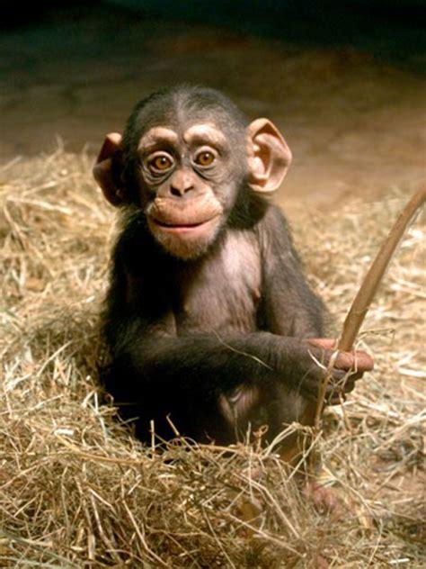 Schimpanse - Zoo am Meer Bremerhaven