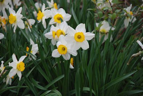 planting daffodil bulbs tiny farmhouse