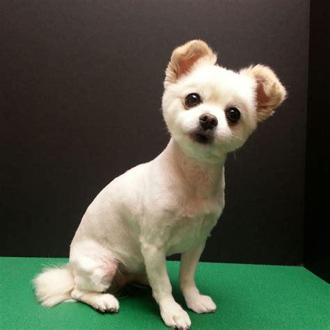 cute chihuahua mix short puppy cut dog grooming dog