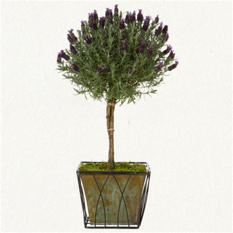 Lavender Topiary  Traditional  Plants  By Terrain