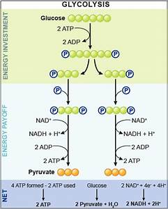How Do We Get 4 Atp Molecules In Glycolysis