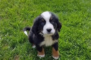 Berner Sennenhund Gewicht : berner sennenhund welpen gutm tige loyale familienfreunde ~ Markanthonyermac.com Haus und Dekorationen