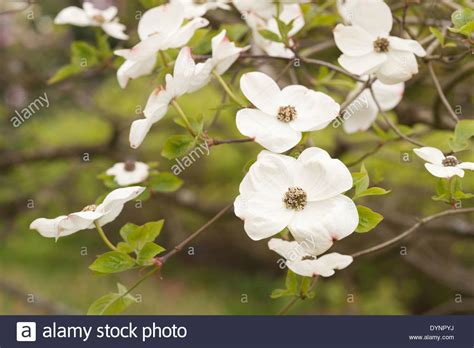 Mass Of Flowers On The White Wonder Dogwood Tree A Medium