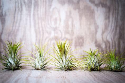 pflanzen ohne wurzeln wurzellose luftpflanzen in terrarien tillandsien richtig