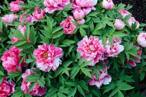 peonies growing season how to grow tree peonies growing and caring for tree peonies