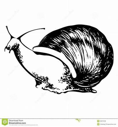 Lumaca Illustrazione Snail Bianco Nero Clipart Vettore