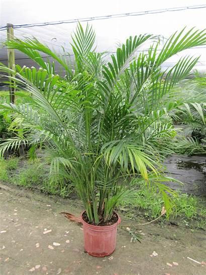 Palm Tropical Plants Cataractarum Chamaedorea Plant Florida