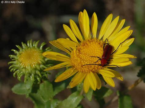 grindelia squarrosa gumweed minnesota wildflowers
