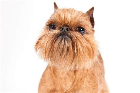 do brussels griffon shed a lot small dogs that don t shed american kennel club