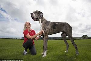 SEVEN FOOT Great Dane could be crowned world's tallest dog ...