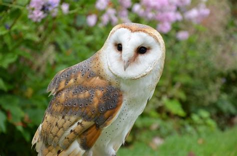 Barn Owl Pictures, Photos, And Images For Facebook, Tumblr