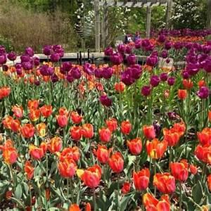 Brookside gardens tulips wheaton md united states for Botanical gardens maryland