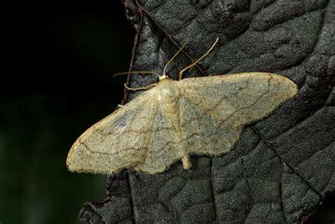 encyclop 233 die larousse en ligne papillon de nuit