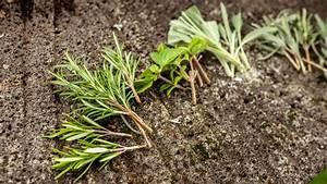 Magnolien Vermehren Durch Stecklinge : kr uter durch stecklinge vermehren garten pflanzen ~ Lizthompson.info Haus und Dekorationen