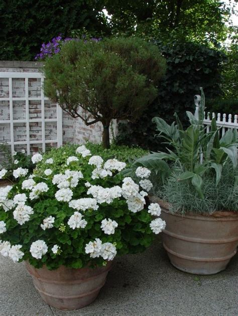 planting geraniums in pots for a mass of white flowers all summer plant a pot of white geraniums just remember to