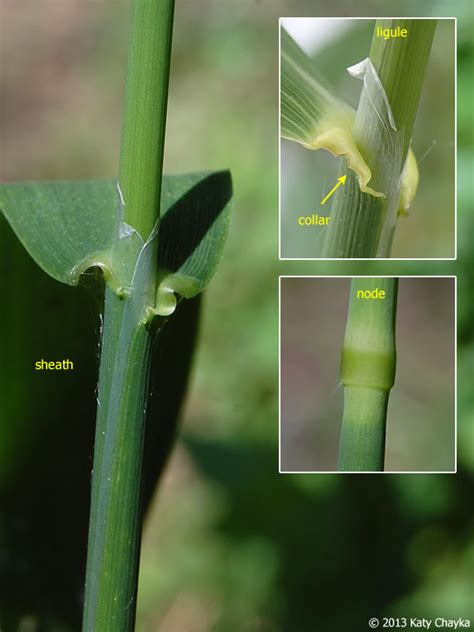 reed grass canary phalaris arundinacea ligule stem sheath node membrane minnesota thin