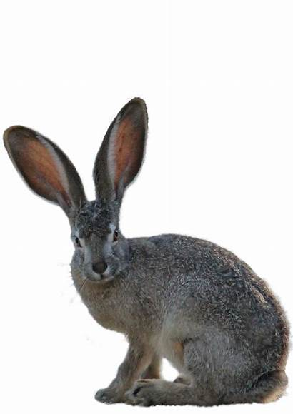 Kangaroo Hare Mammal Animal Transparent Eared Hidden
