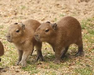 Baby Capybara Meal Train - ZooBorns