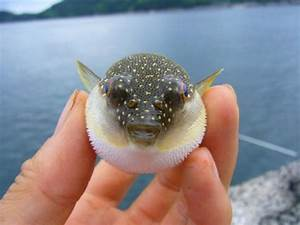 cute baby puffer fish Quotes