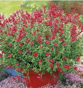 Arbuste D Intérieur : sauge royal bumble plante en ligne ~ Premium-room.com Idées de Décoration