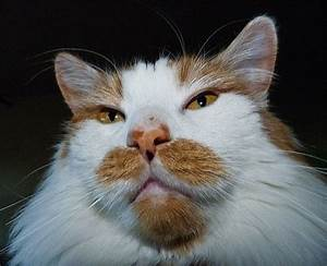11 best images about Cats with Mustaches on Pinterest ...