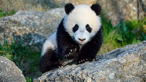 panda fu bao macht seinen ersten ausflug ins freie oe