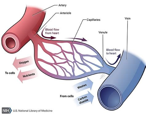 Heart and blood vessel labeling. What is a capillary? - Quora