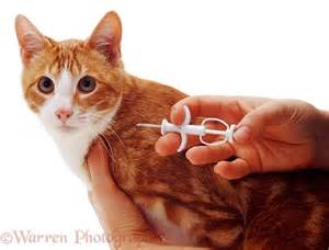 cat microchip implanting a microchip in a cat photo wp04271
