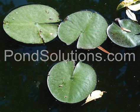 pond weed identification chart