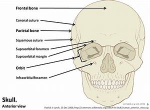 Skull Diagram  Anterior View With Labels Part 1
