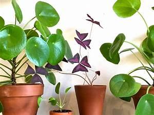 Plante De Salon : oxalis triangularis ~ Teatrodelosmanantiales.com Idées de Décoration