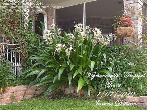 Full Size Picture Of Spider Lily 'tropical Giant