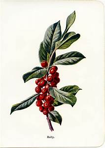 Vintage Holly Botanical Illustration - Old Design Shop Blog