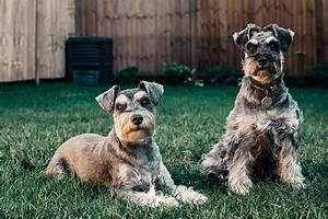 10 facts about schnauzer puppies and dogs