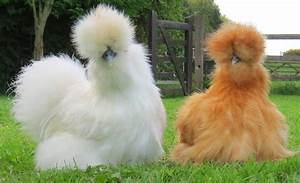 Unique Farm Pet... Silkies