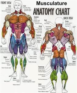 15 Best Muscles Images On Pinterest