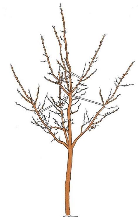 Pflaumenbaum Richtig Pflanzen Und Pflegen by Kirschbaum Richtig Schneiden Kirschbaum Schneiden