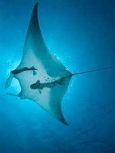 28 Interesting Facts About The Regal And Majestic Manta Ray