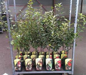 tree-shop co uk - Patio Dwarf cherry tree 'Stella' (Prunus
