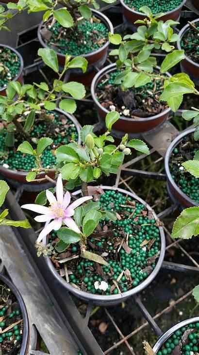 Bonsai Grewia Plant Tropical Plants Company Miami
