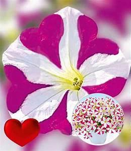 Hängepflanzen Für Balkonkästen : petunie 39 amore joy 39 petunien bei baldur garten ~ Michelbontemps.com Haus und Dekorationen
