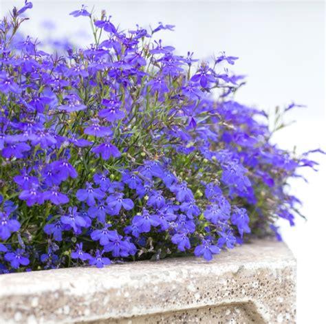 fiori da terrazzo primavera ecco i fiori da balcone per questa stagione