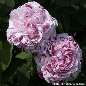 Rosen Düngen Im Frühjahr : variegata di bologna rosen online kaufen im rosenhof schultheis rosen online kaufen im ~ Orissabook.com Haus und Dekorationen