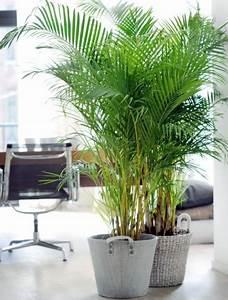 Grande Plante Verte D Intérieur : areca kopen ~ Voncanada.com Idées de Décoration