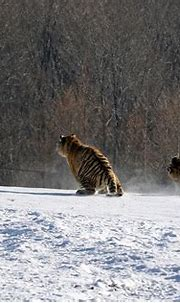 Tiger captured flipping over as it tries to catch a bird ...