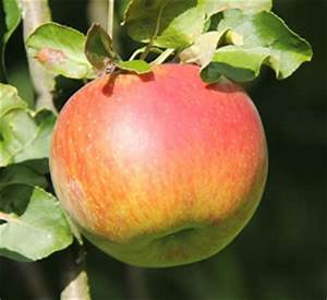 Erdbeeren Düngen Mit Blaukorn : braeburn apfel apfelbaum anbau pflege geschmack und kalorien ~ Frokenaadalensverden.com Haus und Dekorationen