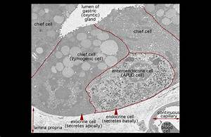 Hls   Ultrastructure Of The Cell  Chief Cells And