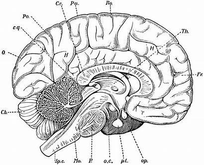 Brain Section Cross Diagram Blank Human Anatomy
